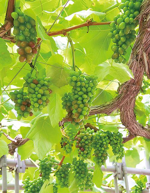 ぶどうやりんご、洋梨などの果樹も多く植えられている