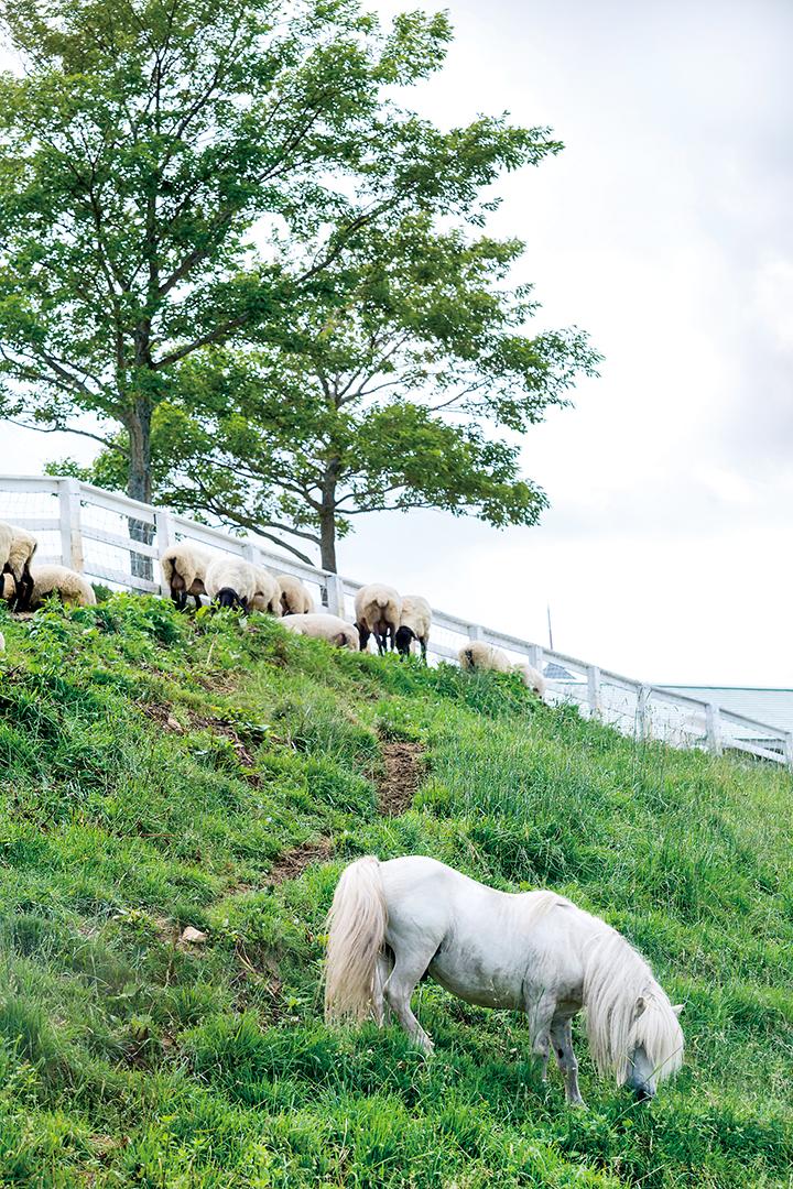 くずまき高原牧場の羊放牧地