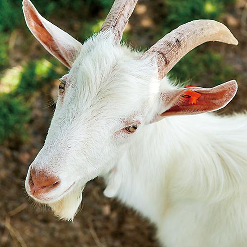 ミルク公園・ふれあい動物コーナーには、ヤギやウサギなどがいる