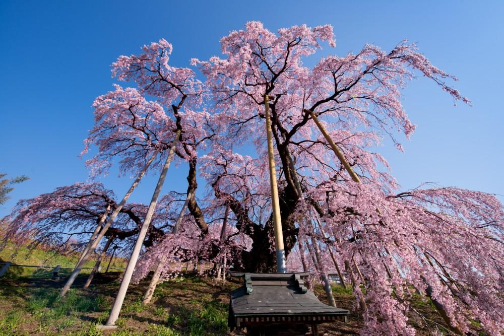 三春滝桜 -愛姫さくらまつり-